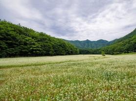 울릉도 알봉일대 순백의 메밀꽃 만개